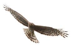 Harrier du nord Photos libres de droits