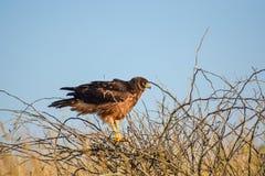 Harrier du nord femelle Image libre de droits