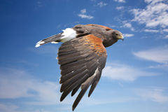 Harrier hawk or eagle flying on blue sky Royalty Free Stock Photo