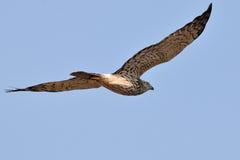 Harrier pie photos stock