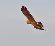 Harrier pie images libres de droits