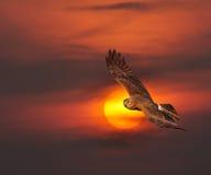 Harrier pie Photos libres de droits