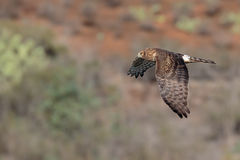 Harrier on the prowl. Northern Harrier in flight and on the hunt Royalty Free Stock Photos