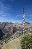 Harrimaniae da mandioca - baioneta espanhola - em Zion National Park Foto de Stock