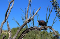 Harris's Hawk Perched on Tree Branch in Arizona Desert. A Harris's Hawk, a bird of prey, sits on a branch in the Sonoran Desert in Arizona royalty free stock photo