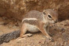 Harris Antelope Ground Squirrel (harrisii de Ammospermophilus) Fotografía de archivo libre de regalías