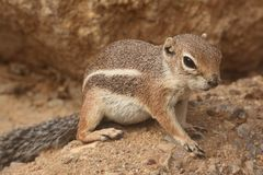 Harris Antelope Ground Squirrel (harrisii di Ammospermophilus) Fotografia Stock Libera da Diritti