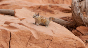 Harris Antelope Squirrel Royalty-vrije Stock Afbeelding