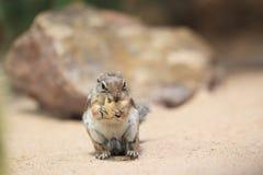Harris Antelope Squirrel Photos libres de droits