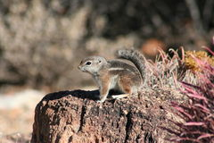 Harris' antelope squirrel (Ammospermophilus harri Stock Photos