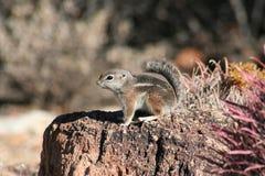Harris  Antelope Squirrel (Ammospermophilus Harri Stock Photos