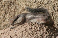 Harris  Antelope Squirrel (Ammospermophilus Harri Stock Image