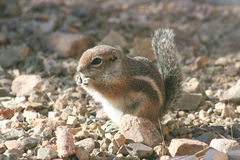 Harris' antelope squirrel (Ammospermophilus harri Stock Image
