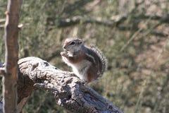 Harris` antelope squirrel Ammospermophilus harrisii Stock Images