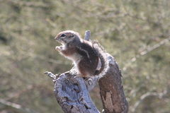 Harris` antelope squirrel Ammospermophilus harrisii Royalty Free Stock Photography