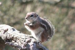 Harris` antelope squirrel Ammospermophilus harrisii Stock Photography