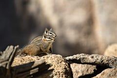 Harris` Antelope Squirrel Stock Photos