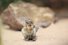 Harris antelope squirrel. With a nut Royalty Free Stock Photos