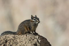 Harris` Antelope Squirrel Royalty Free Stock Photo