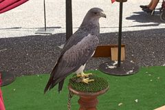 Harris eagle Royalty Free Stock Images