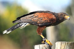 Harris-Falke Stockbilder