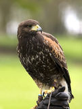Harris-Falke auf einem Handschuh Stockbild