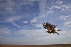 Harris-Falkeflugwesen im mitten in der Luft gleich nach entfernen sich Lizenzfreies Stockbild