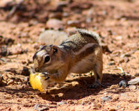 Harris Ground Squirrel. (Ammospermophilus harrisii) on the prowl for a meal Royalty Free Stock Photography