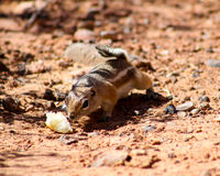 Harris Ground Squirrel. (Ammospermophilus harrisii) on the prowl for a meal Stock Photography