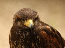 Harris Hawk. Portrait of a Harris Hawk Royalty Free Stock Photography