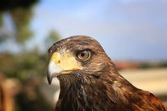 Harris Hawk images stock