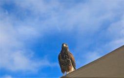 Harris Hawk imagens de stock royalty free