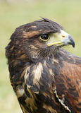 Harris hawk. Beautiful harris hawk portrait in nature Stock Photography