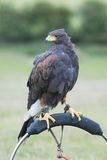 Harris hawk. Standing on a perch stock photography