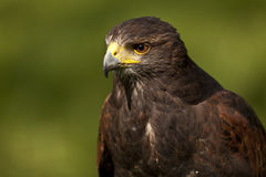 Harris hawk. Portrait of harris hawk with green nature background Stock Photography
