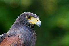 A Harris Hawk Stock Images