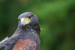 A Harris Hawk Stock Image