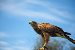 Harris Hawk Stock Image