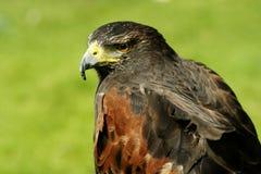 Harris Hawk. Side profile of a Harris Hawk royalty free stock photos