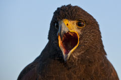 Harris Hawk stock images