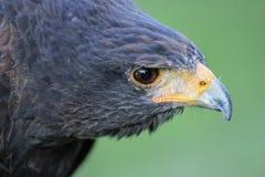 Harris Hawk. (Parabuteo unicinctus) formerly known as the Bay-winged Hawk or Dusky Hawk Royalty Free Stock Image