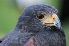Harris Hawk. (Parabuteo unicinctus) formerly known as the Bay-winged Hawk or Dusky Hawk Royalty Free Stock Images