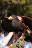 Harris Hawk royalty free stock images