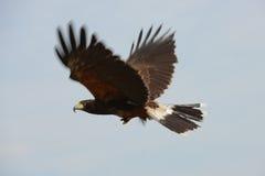 Harris Hawk royalty free stock photo