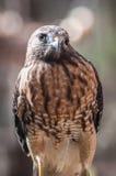 Harris Hawk. (Parabuteo unicinctus) -raptor bird royalty free stock photography