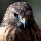 Harris Hawk. (Parabuteo unicinctus) -raptor bird royalty free stock image