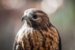 Harris Hawk. (Parabuteo unicinctus) -raptor bird Stock Images