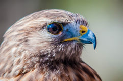 Harris Hawk. (Parabuteo unicinctus) -raptor bird stock photos