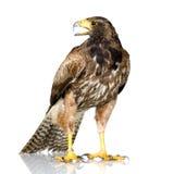 Harris Hawk royalty free stock photos