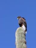 Harris' Hawk. A detailed shot of a wild Harris' Hawk perched atop a cactus in the Arizona desert Stock Photos